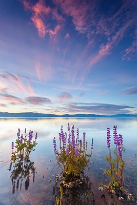 Gallery Image Tahoe_Lupine_at_Sunrise_4_400.jpg