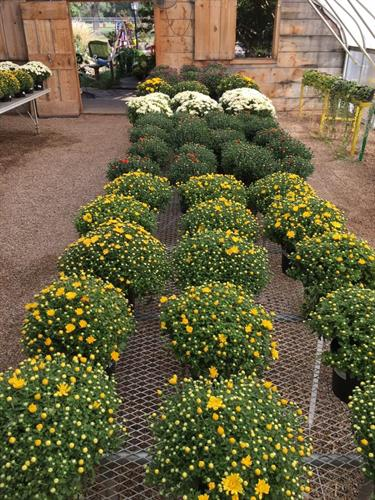 Fall mums landscaping