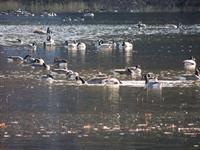 Songo Pond Canadian Geese