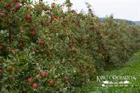 A Row of Honey Crisp Apples