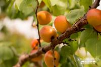 Apricots Ripening on the Tree