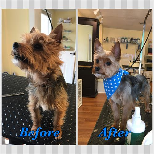 Bailey the Yorkie, before and after