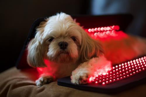 Light therapy isn't just for humans...