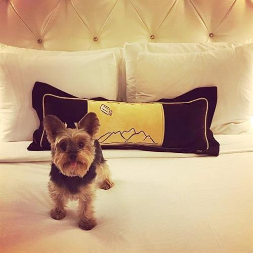 Even man's best friend can't resist the comfort of Hotel Monaco's beds