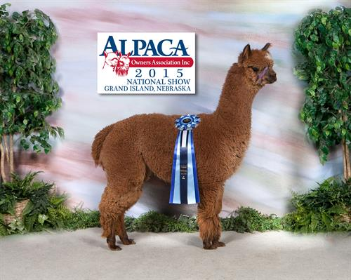 LaZyB Suzanna, Blue Ribbon at Great Western Alpaca Show