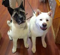 Just a couple of gorgeous Akita's visiting for treats