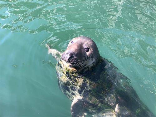 Seal Eating a Fish