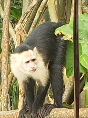 Monkey in the Panama Canal area