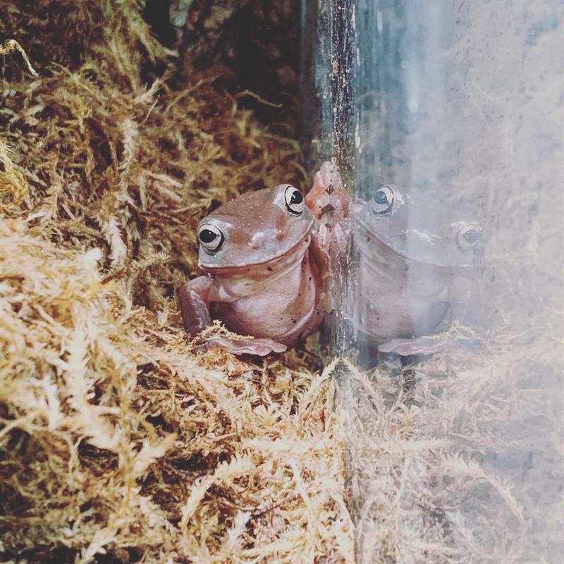 White's Dumpy Tree Frog found at Angel's Pet World!