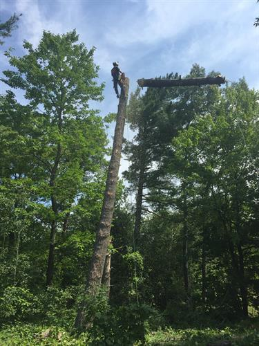 Large White Pine removal in Wasaga Beach, Ontario.