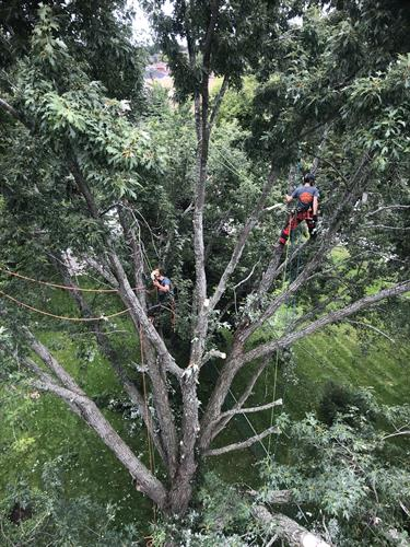 Large Silver Maple removal in Barrie, Ontario.