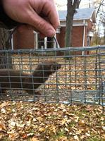 Short tailed weasel accidentally caught while squirrel trapping
