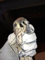 Kestrel Hawk safely removed from inside a fireplace
