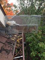 Squirrels removed out of fascia board