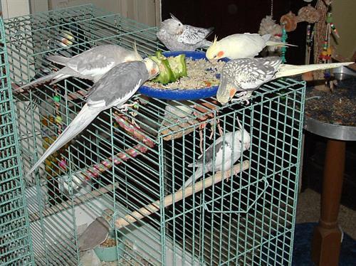 Gallery Image Cockatiels.jpg