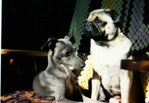 Pharoh the Italian greyhound and Dutchie, the insulin depending pug.
