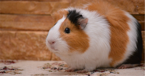 Gallery Image GuineaPig_Pixabay.PNG