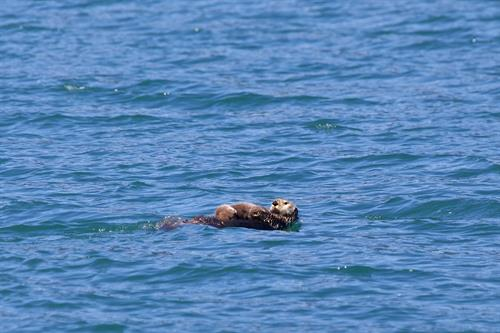 Phillips Cruises & Tours, Sea Otter and Pup, Prince William Sound, Whittier Alaska