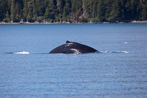 Phillips Cruises & Tours, Whale Tail, Prince William Sound, Whittier Alaska
