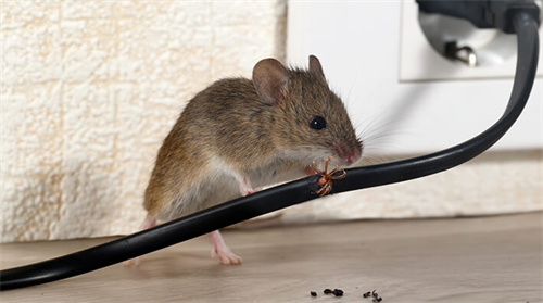 Mouse Chewing on a wire