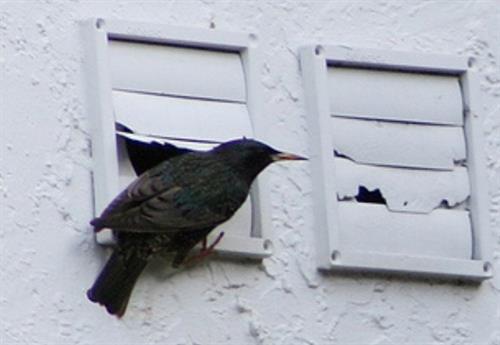 Birds Nesting in the dryer vent