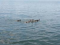 Momma Duck & Her Ducklings