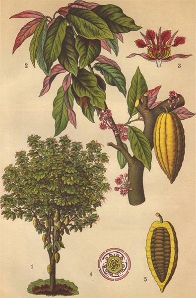 the cacao tree evolved in the Amazon basin. Prior to European contact, it was transported and cultivated throughout Central America and the northern regions of South America. The plant itself is quite beautiful!