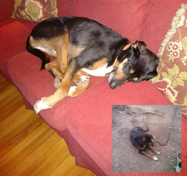 Ike went from a chained backyard dog to a...well...you be the judge.