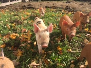 Piglets enjoying a sunny day on the farm!