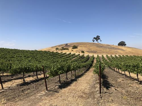 Signature hill on Steinbeck Vineyards