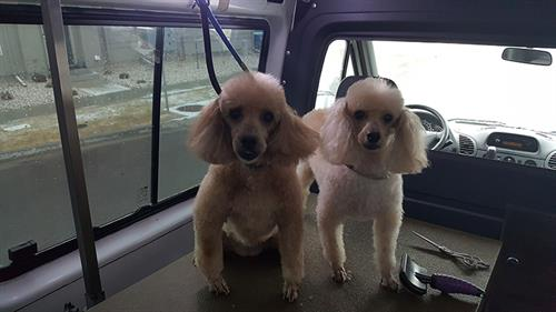 poodles after