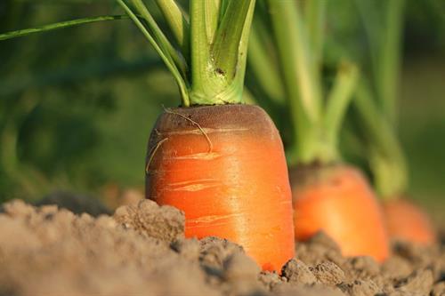 Gallery Image Carrots_In_Soil.jpg