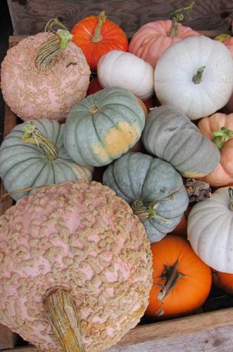 Pumpkin open October weekends 9 - 6