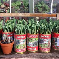 Spring tulips ready to bloom on the patio.