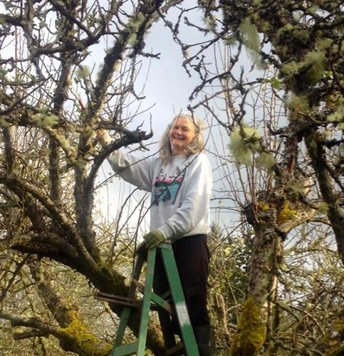 Pruning an ancient apple tree