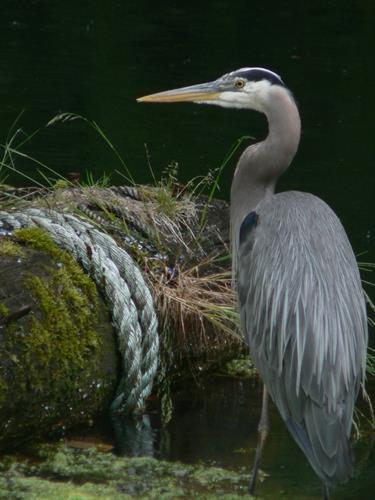 Sullivan Bay Heron