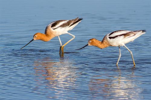 Migratory Shorebirds at Hagerman NWR