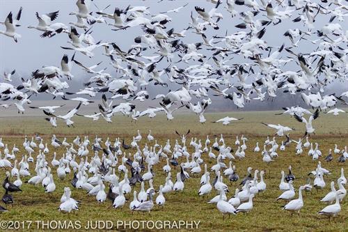 Geese Wintering at Hagerman NWR