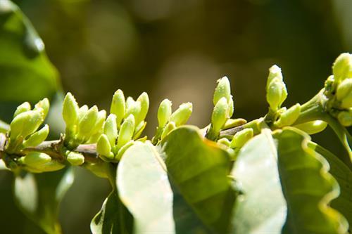 coffee tree in bloom