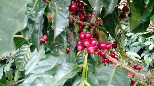 coffee tree with ripe cherries