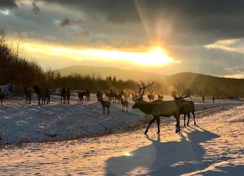 Elk on a Winter Morning