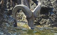 Bighorn Sheep can't swim so they have to be careful to find even ground before getting a drink