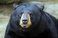Lesson From A Black Bear: Myths and Relationships