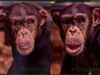 Twin Chimp Birthday Celebration