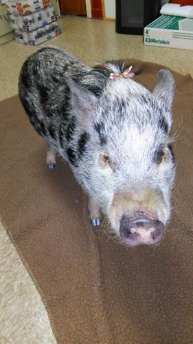 Our little Julianni Pig Mrs. Pigglesworth