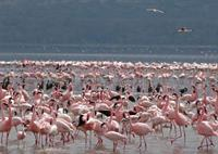 Flamingo's at Lake Nakuru National Park, Kenya