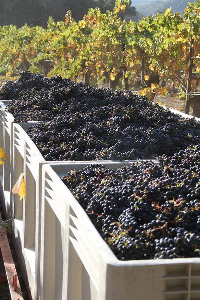 Harvest at Galante Vineyards