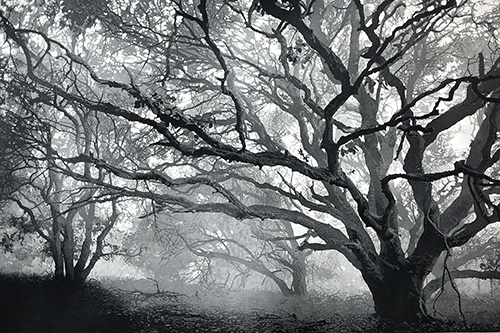 Winter Oaks Etching by Stephen McMillan