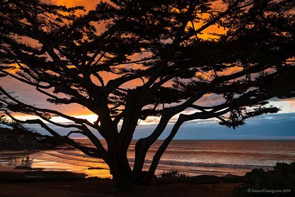 Cypress Tree on Carmel Beach