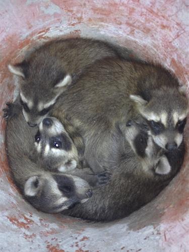Baby raccoons in chimney